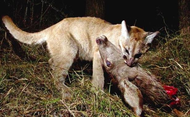 Mountain Lion Eating Deer