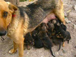 hondurasdogs2