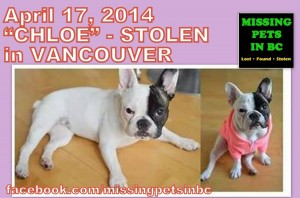 chloe-stolen-black-and-white-french-bulldog-in-vancouver-1024x679
