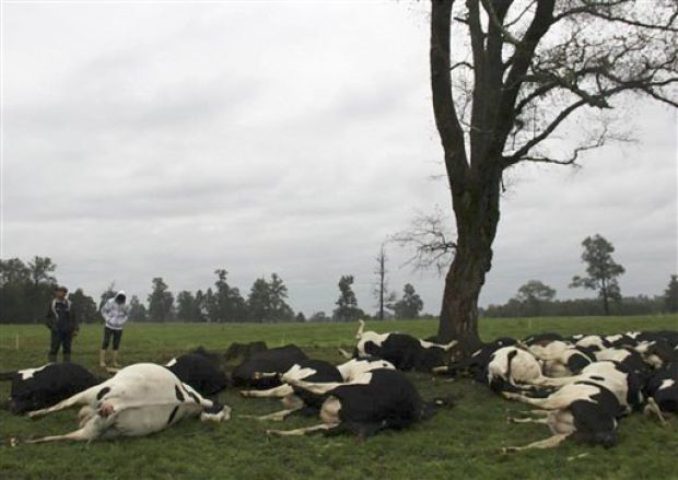 Lightning kills 60 cows in Chile - Critter FilesCritter Files