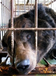 bear_in_cage