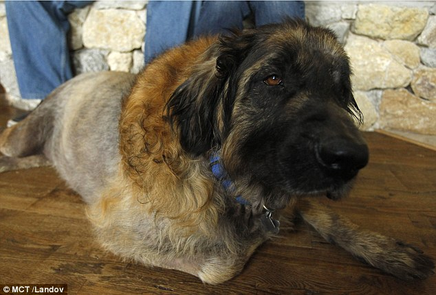 Sid the dog found alive in vet Leonberger Attack