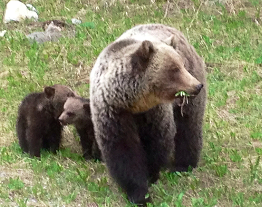 grizzlymomwithcubs