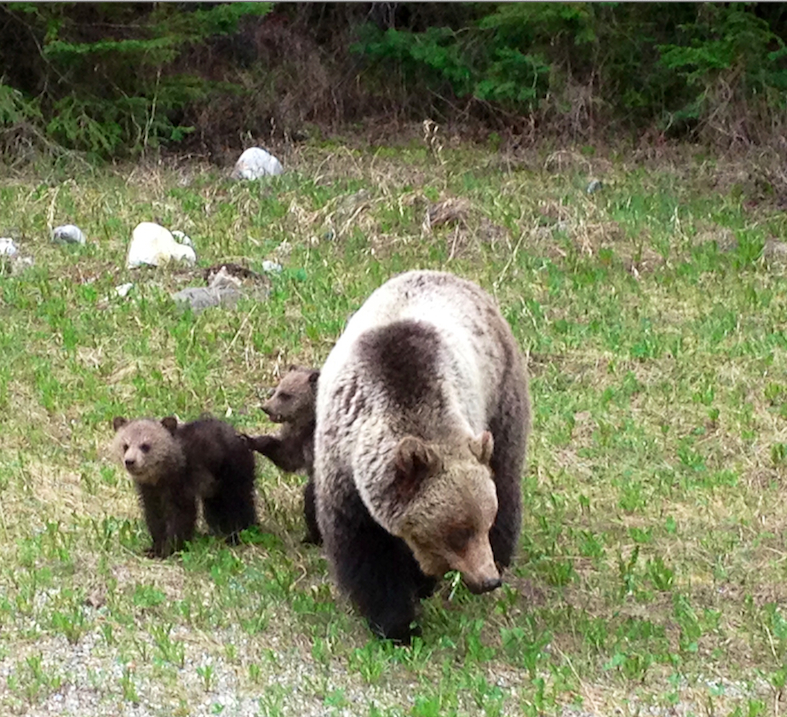 grizzlymomwithcubs2