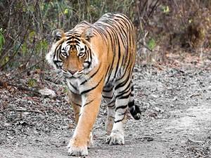 indian-tiger