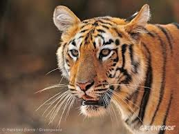 tigers indian