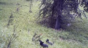 wolfpupsinbanff