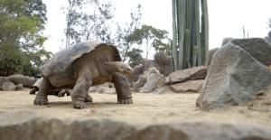 TortoiseGalapagos2