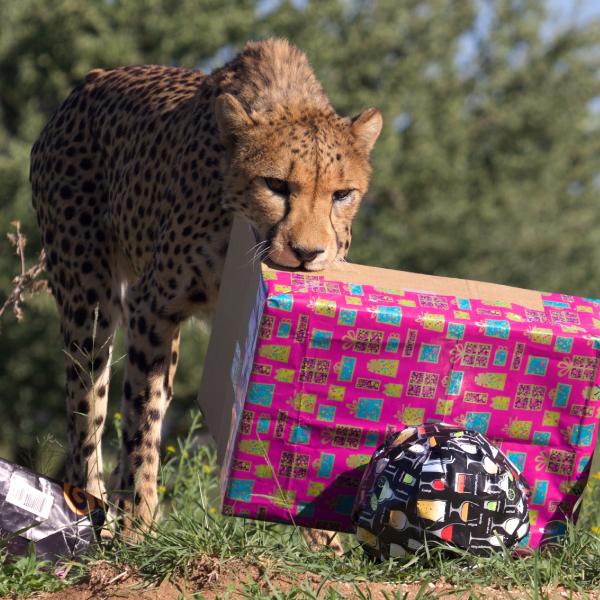 cheetahconservationfund