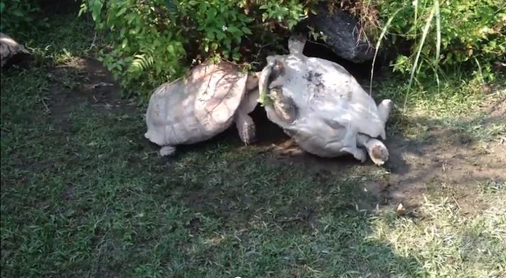 tortoisehelpingtortoise