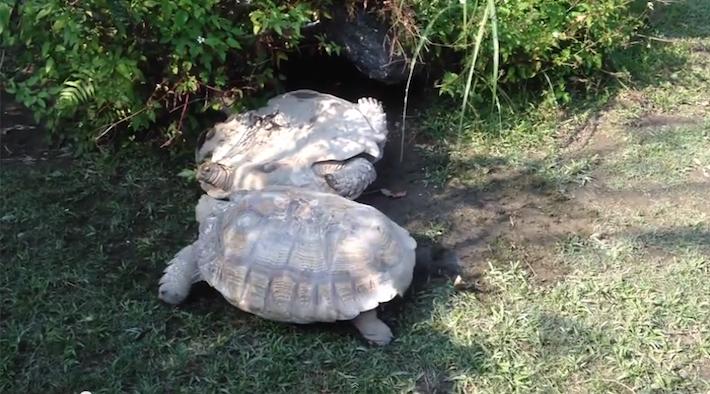 tortoisehelpingtortoise1