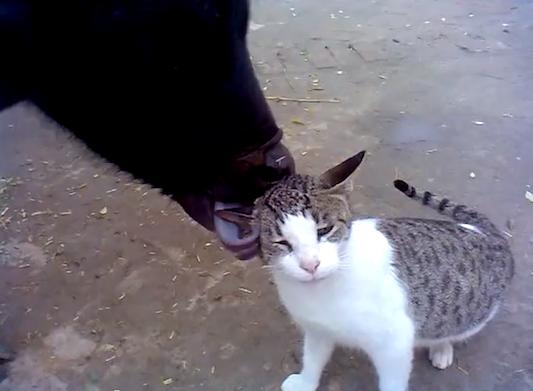 calflickingcat