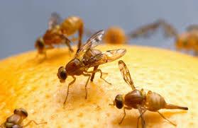 fruitflies on orange