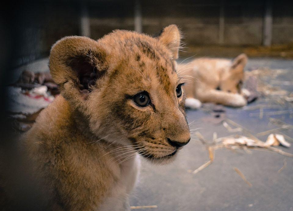 lioncubcincinnati