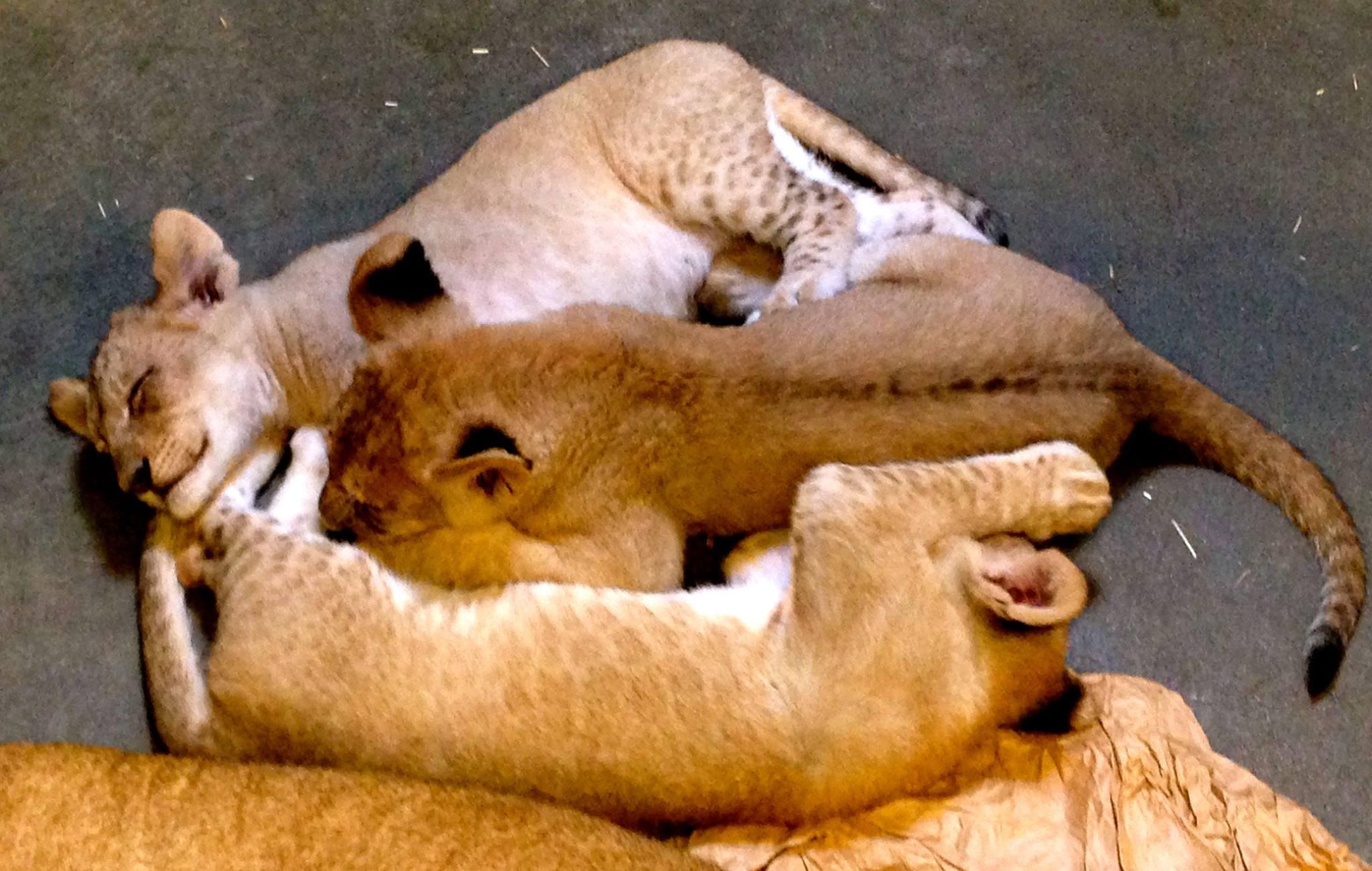 lioncubtriocincinnati