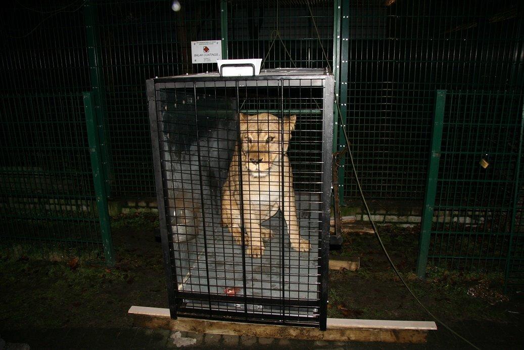 lionsbelgium2