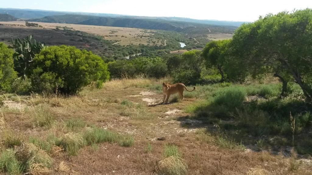lionsonja