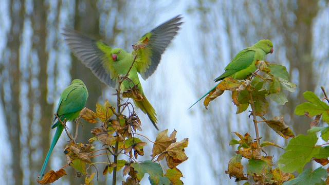 parakeets3