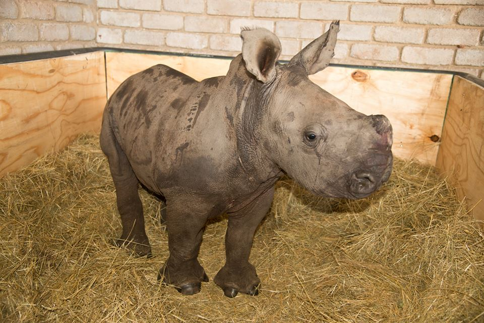 RhinoPelham