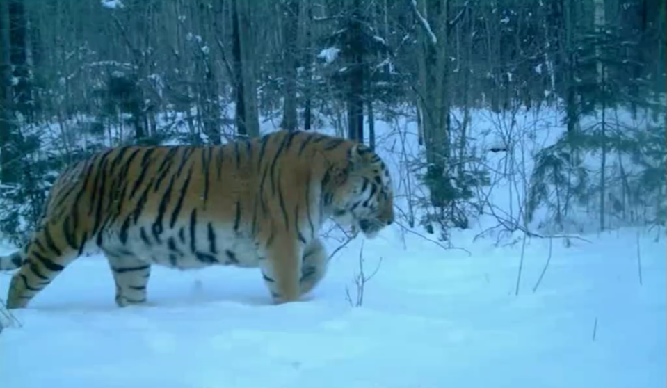 Amur tiger male/Wildlife Conservation Society