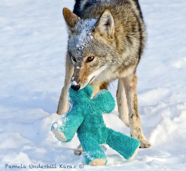 coyotedogtoy1