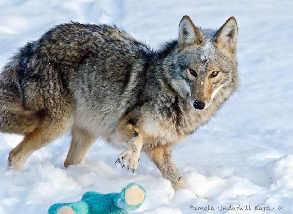 coyotedogtoy2