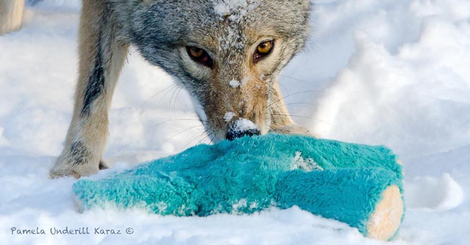 coyotedogtoy3