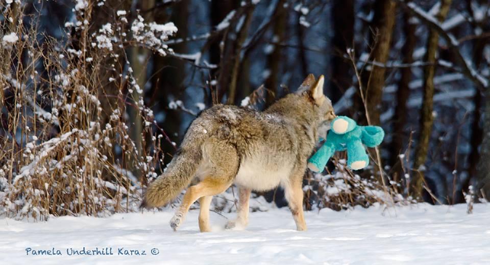 coyotedogtoy4
