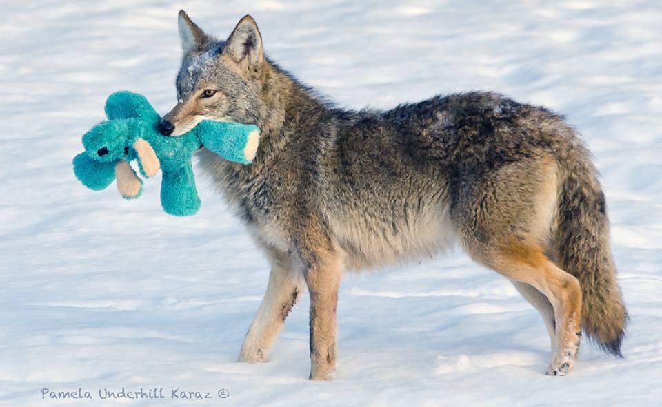 coyotedogtoy6