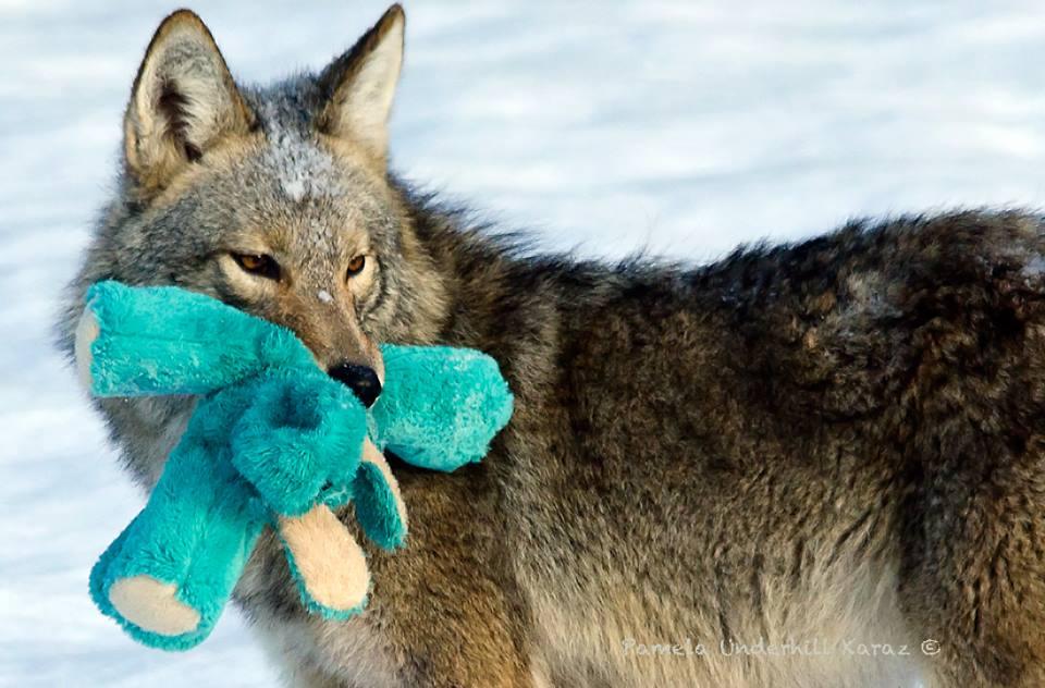 coyotedogtoy7