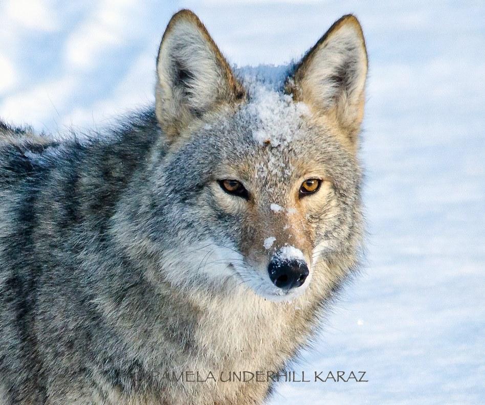 coyotedogtoy8