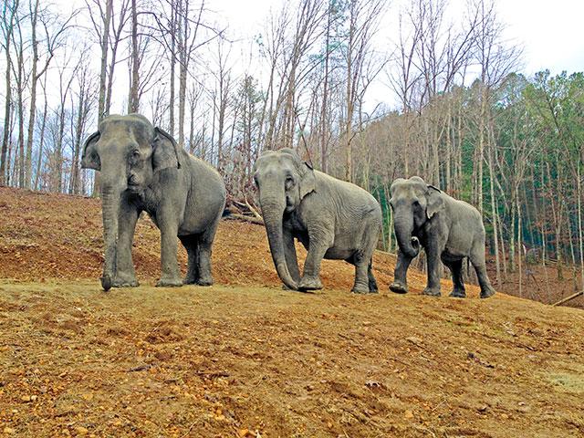 The Elephant Sanctuary of Tennessee/Liz, Billie & Frieda, Jan. 2014