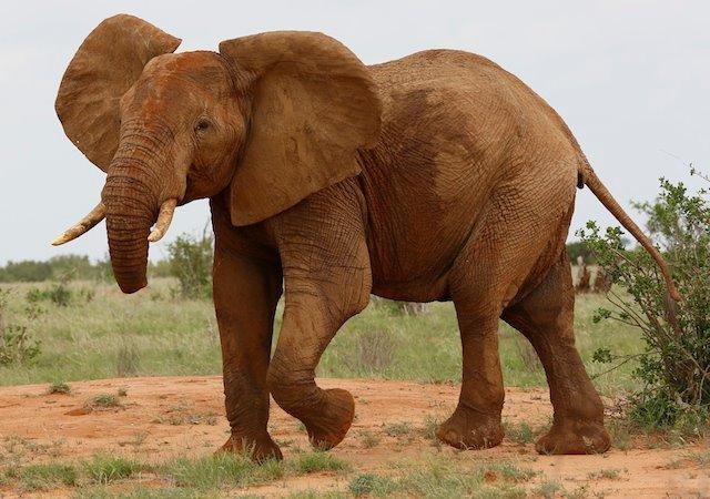 elephantwithouttrunkTsavoTrust