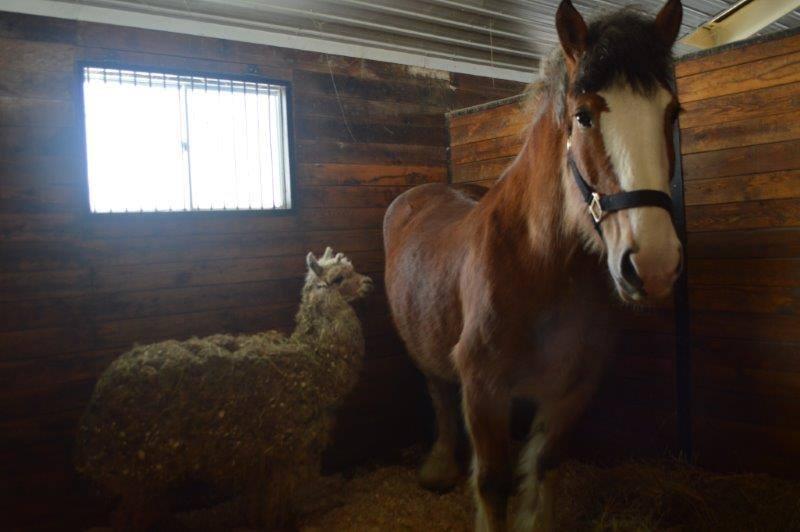 horsealpaca
