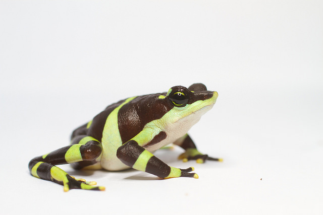 Limosa Harlequin Frog/Smithsonian's National Zoo