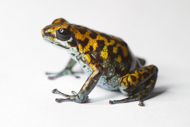 Vincente's Poison Frog/Smithsonian's National Zoo