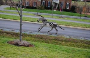 zebra running1