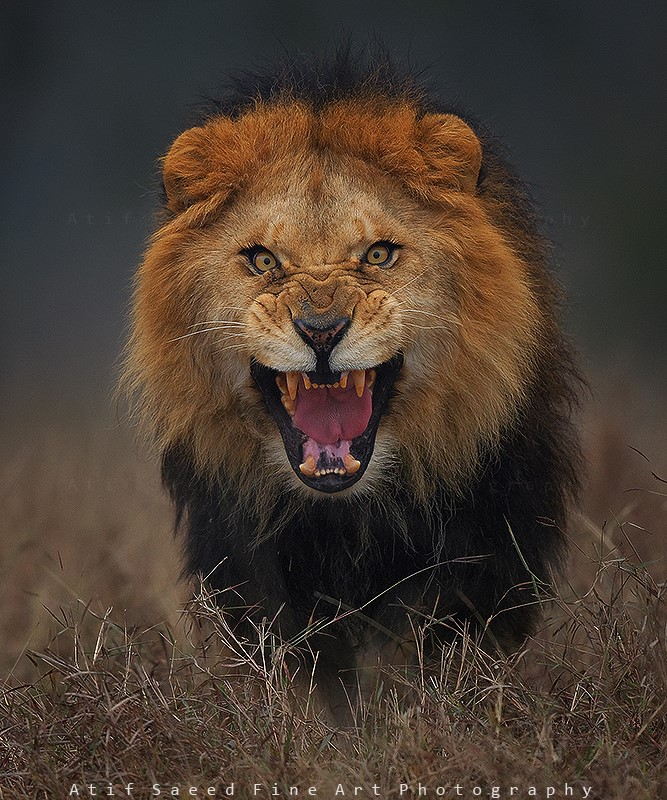 lionchargingAtifSaeed