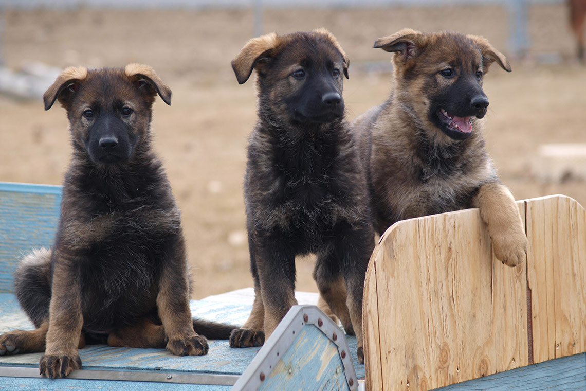 Omg Rcmp Puppies Ridiculously Cute Canine Cops Critter