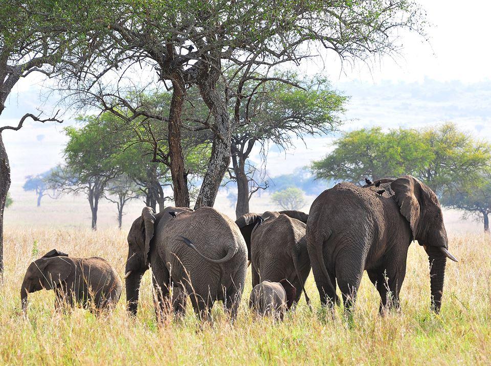elephantherdUgandaWildlifeAuthority