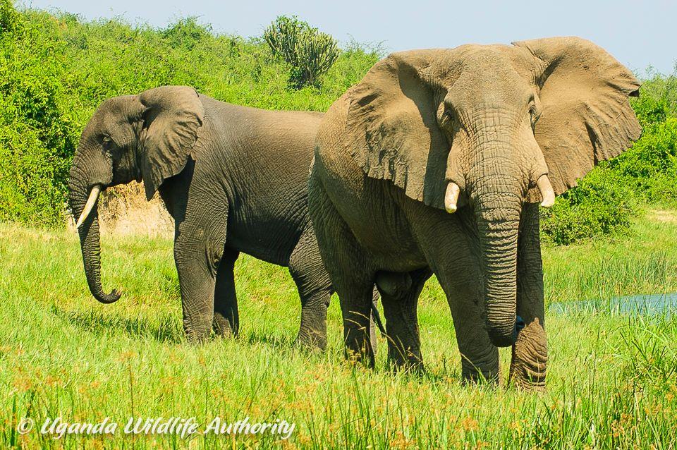 elephantsUgandaWildlifeAuthority