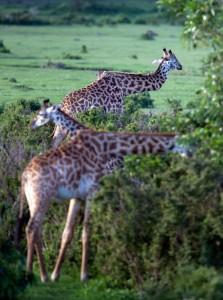 giraffebrokenneck2