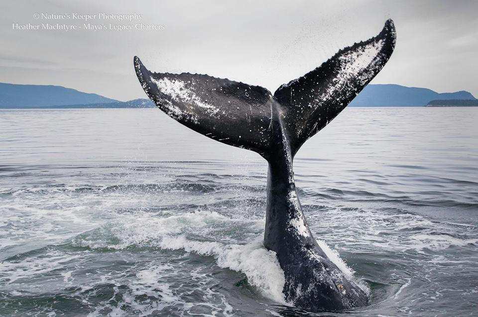 windyheathermacintyrehumpbackwhale