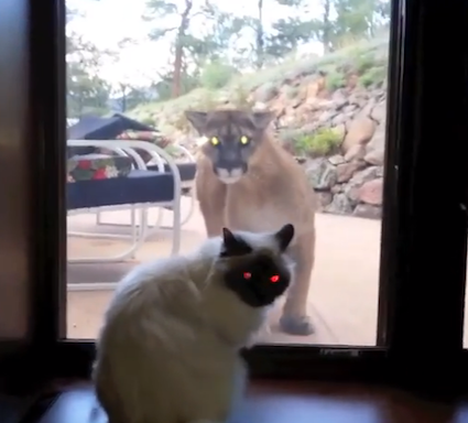 cougarvscat