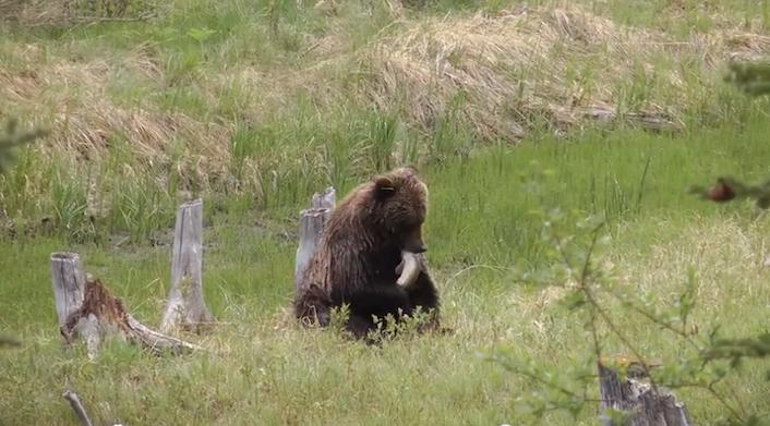 grizzlyvermilionlakesfisheat