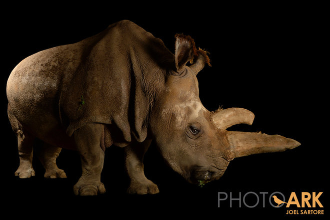 Nabire, one of the last five northern white rhinos left on Earth.