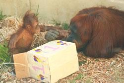 Teliti-Orangutan-2