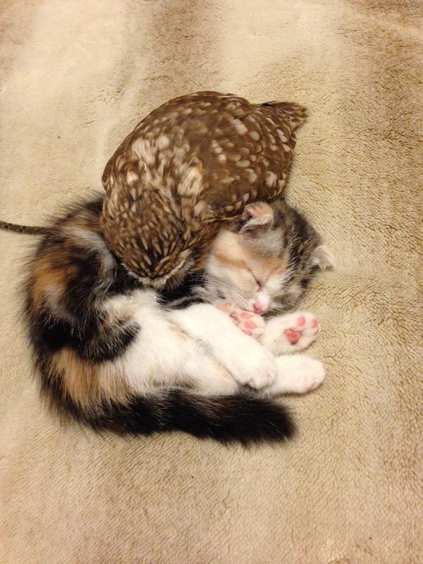 owl&kitten6