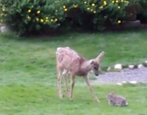 DeerRabbit4