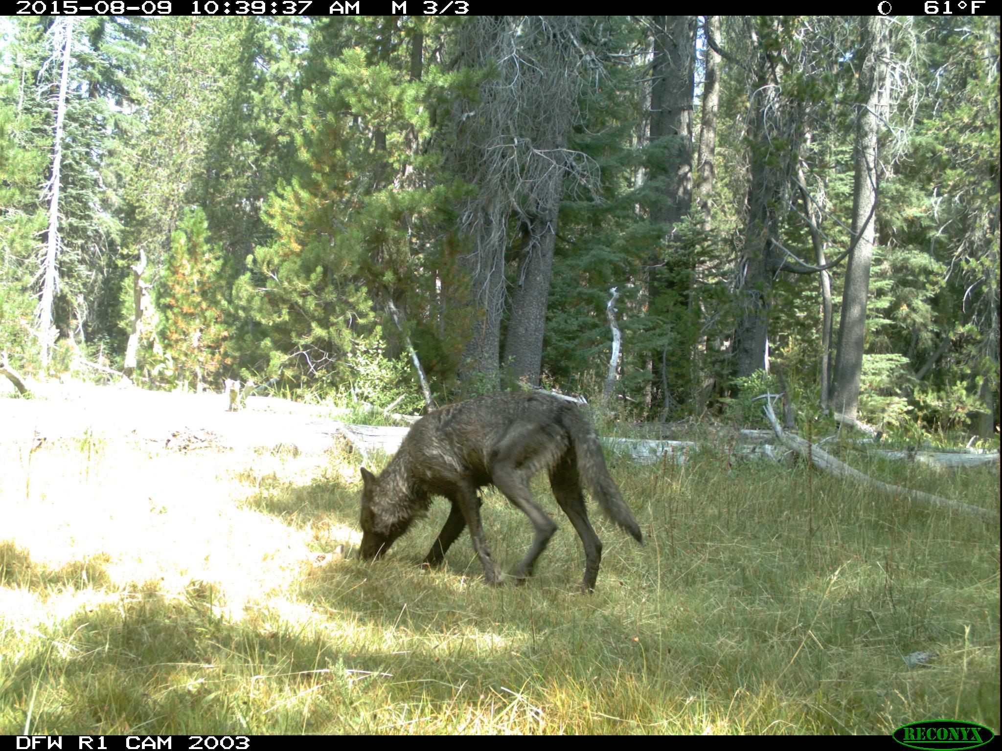 graywolfcali